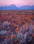 Predawn glow illuminates the Teton Range and fall colored wild roses, willows and sage near Cunningham Cabin