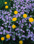Ground detail of common dandelion and purple phlox