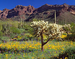 Teddy bear cholla cactus with Mexican gold poppies & Coulter's lupine with Ajo Range against desert skies