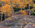 Aspens trees radiate with orange and gold colors of autumn. Glacier Creek Trail