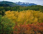 Fall colored oak and cottonwood trees in East Dallas Creek valley below the San Juan range