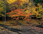 Autumn forest hardwoods and fallen leaves on the sculpted shale bank of the Presque Isle river