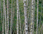 Forest wall of red alder (Alnus rubra) trunks patterned with lichen patches