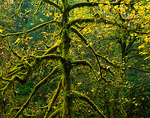 Big leaf maple (Acer macrophyllum) branches covered with moss