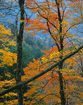 Maple branches with yellow and gold autumn colors contrast with blue haze of the Smoky Mountains