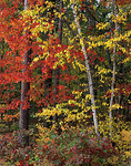Autumn hardwood forest in Northern Highland American Legion State Forest