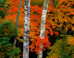 White birch trunks (Betual papyrifera) branches in fall colors in the Northern Hightland American Legion State Forest