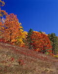 Grassy hillside under autumn colored hardwood trees and clear blue sky  Northern Highland American Legion State Forest
