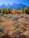 Sage bushes and fall colored aspens and cottonwoods under the Teton Range at Schwabacher Landing on the Snake River