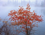 A quiet fog envelopes a hawthorn tree in fall color and the distant lakeshore of Curlew Lake