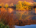 Fall colored willows and rushes with clearing fog on the lakeshore of Vic Meyer Lake at sunrise, located in the Lower Grand Coulee