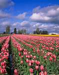 Rows of pink tulips with weathered barns under spring spring skies -