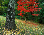 Brilliant red autumn colors of a Japanese maple growing near a large, textured birch trunk, Kubota Garden