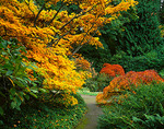 A variety of Japanese Maples in brilliant fall colors border a secluded pathway in the garden
