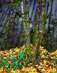 Wall of columnar basalt behind mossy maple trunks with fallen autumn leaves -  Starvation Creek State Park