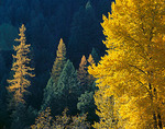 Fall leafed cottonwood and larches are backlit by the sun in a steep canyon near the Sanpoil River