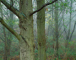 Multiple trunks of mature alder (Alnus rubua) forest in fog near   Point Robinson