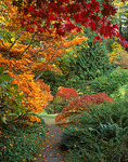 A variety of Japanese Maples in autumn colors border a secluded pathway in the garden
