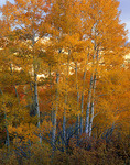 Gold aspen (Populus tremuloides) groves in the valley of West Dallas Creek in Uncompahgre National Forest, CO