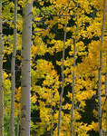 Back lit autumn colored aspen (Populus tremuloides) grove near Owl Creek Pass in Uncompahgre National Forest, CO