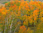 Autumn colored aspen grove on Last Dollar Road near Dallas Divide in San Miguel County, CO