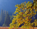Yosemite National Park, CA: Morning light on California black oak (Quercus kelloggii) in fall color from Cook's Meadow in Yosemite Valley