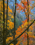 Great Smoky Mountains National Park, TN/NC: Maple branches with yellow and gold autumn colors contrast with blue haze of the Smoky Mountains
