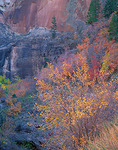 Zion National Park, UT: A small grove of autumn aspen trees backlit by the sun against the striated sandstone walls in Echo Canyon