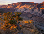 Capitol Reef National Park, UT: Sunrise light on a small juniper tree at the edge of Halls Creek Canyon with a view of Water Pocket Fold
