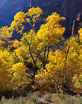 Zion National Park, UT: A grove of fall colored cottonwood trees backlit by the sun in Zion Canyon