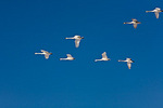 Hokkaido, Japan: A wedge of Whooper Swans (Cygnus cygnus) flying in a vee formation over Lake Kussharo, Akan National Park