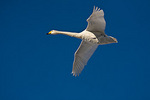 Hokkaido, Japan: Whooper Swan (Cygnus cygnus) flying in a formation over Lake Kussharo, Akan National Park