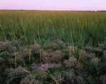 Cape Cod National Seashore, MA: Beach grasses and sea lavender (Limonium carolinianum) in evening light at the Moors near Provincetown