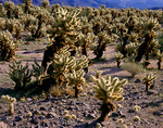 Joshua Tree National Monument, CA: Morning light on Bigelow Cholla,