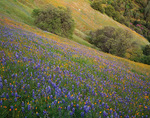 Sierra National Forest, CA: Lupine and California poppies blooming on a sloping hillside with oak trees on the Moss Creek Trail near El Portal
