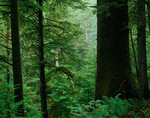 Tillamook County, OR: Old growth Sitka Spruce in coastal forest on Cape Falcon in Oswald West State Park