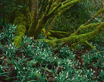 Vashon Island, WA: Flowering snowdrops (Galanthus sp) naturalized in a woodland setting under moss covered trees  on Vashon-Maury Island Land Trust