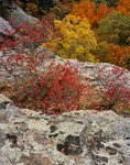 Shawnee National Forest, IL: Red leafed berry bushes and sandstone outcrops above the autumn canopy in the Garden of the Gods Recreation Area