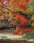 Shawnee National Forest, IL:  A branch of sweetgum tree (Liquidambar styraciflua) with fall foliage in Bellsmith Springs State Park