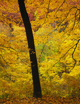 Starved Rock State Park, IL: Fall colored maple/oak hardwood forest at the rim of Kaskaskia Canyon