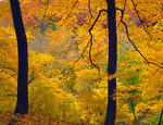 Starved Rock State Park, IL: Oak - Maple hardwood forest canopy in fall color above Wildcat canyon