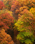 Starved Rock State Park, IL: Oak- maple hardwood fores canopy in fall color above Wildcat Canyon
