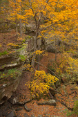 Shawnee National Forest, IL: Fall colored forest canopy above sandstone bluffs in the Burden Falls Wilderness Area,
