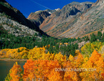 Inyo National Forest, CA Aspen (Populus tremuloides) in fall color along the upper edge of Lundy lake in the eastern Sierras