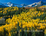 Uncompahgre National Forest, CO: Gold aspen (Populus tremuloides) groves cover foothills under the San Juan range
