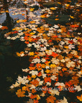 Devil's Lake State Park, WI: Colorful maple leaves on the still surface of a slow moving stream