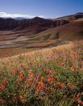 John Day Fossil Beds National Monument, OR: Orange globe mallow (Sphaeralcea munroana) and prairie clover (Petalostemon ornatum dougl.) blooming along the Overlook Trail - Painted Hills Unit
