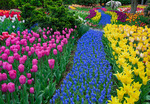 "Skagit County, WA: A river of grape hyacinth with a colorful mix of spring tulips in RoozenGaarde garden.  ""Courtesy of the Washington Bulb Co. Inc."""