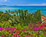 Virgin Gorda, British Virgin Islands, Caribbean: A hedge of bougainvillea blooms at an overlook above Mahoe Bay