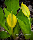 Vashon Island, Washington: Western skunk cabbage (Lysichiton americanus) or swamp lantern - detail of a flower spike and yellow bract